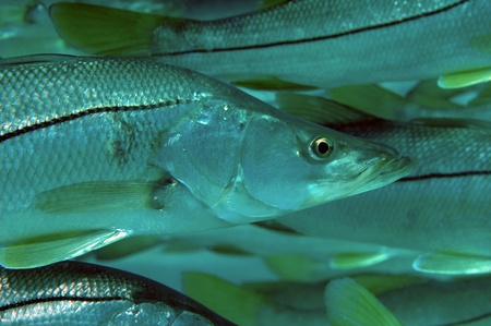 Closeup of schooling Common Snook, picture taken in south east Florida. Stock Photo - 12753861