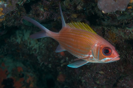 Squirrelfish on a reef ledge in south east Florida.