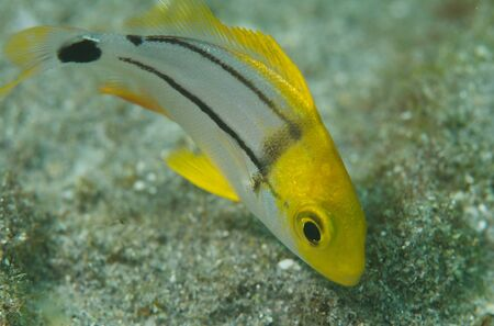 macrophotography: Macrophotography of a Juvenile Porkfish Angelfish