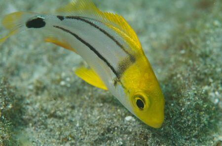 macrophotography: Macrophotography of a Juvenile Porkfish Angelfish
