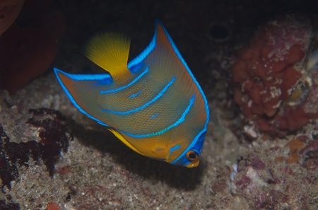 Juvenile Queen Angelfish picture taken in south east Florida. Stock Photo - 12753841