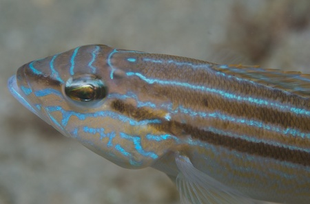 Close up shot of  a Sand Perch picture taken in south east Florida  Stock Photo - 12753498