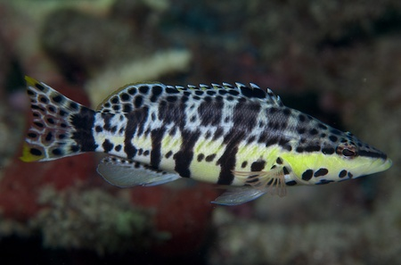reeffish: Harlequin Bass picture taken in south east Florida. Stock Photo