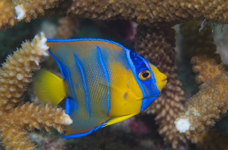 Juvenile Queen Angelfish taking shelter in Staghorn Coral