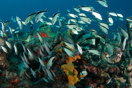 reeffish: Schooling Cottonwick Grunts, picture taken in south east Florida.