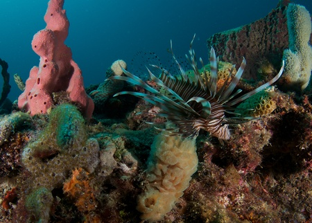 Lionfish on a reef in south east Florida.