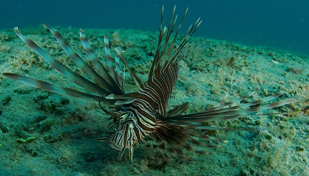 invasive species: Lionfish an invasive species for south east Florida. Stock Photo