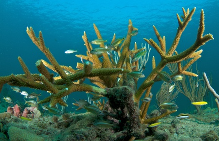 nekton: Juvenile Grunts in a stand of staghorn coral.