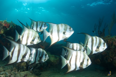 reef fish: Small Group of Atlanitc Spadefish on a reef in south east Florida