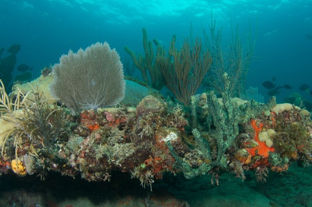 nekton: Coral Reef Composition featuring soft corals picture taken in south east Florida.