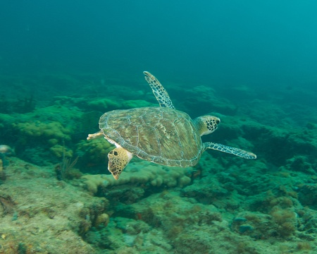 Small Green Sea Turtle on a reef in south east Florida.