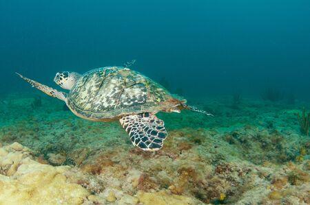nekton: Hawksbill Sea Turtle on a reef in south east Florida.