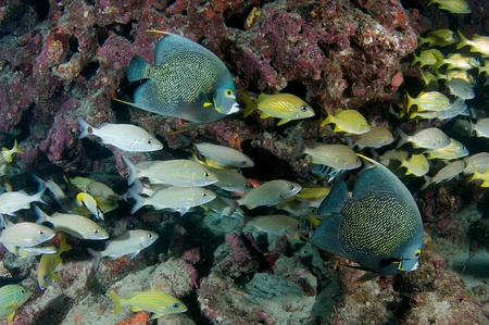 nekton: Aggregation of grunts on a reef in south east Florida.