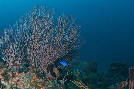 Deepwater Sea Fan on a reef in south east Florida. Stock Photo