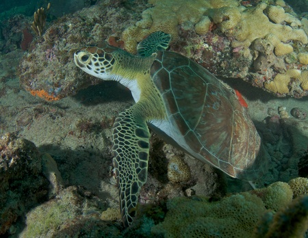 reeffish: Small Green Sea Turtle on a reef in south east Florida.