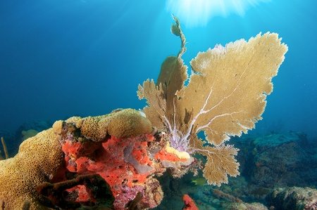 Sea Fan on a reef ledge in south east Florida Stock Photo