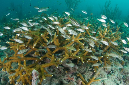 Juvenile Grunts in a stand of staghorn coral.