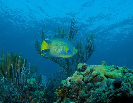 Blue Angelfish swimming over a reef in south east Florida. Stock Photo