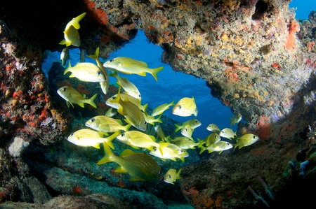 School of French Grunts under a reef ledge. photo