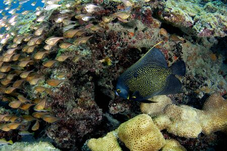 French Angelfish and Glassy Sweepers under a reef ledge. photo