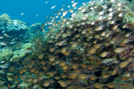 Large school of Glassy Sweepers on a large coral head. photo