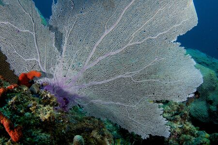 Large Sea Fan on a reef ledge. photo