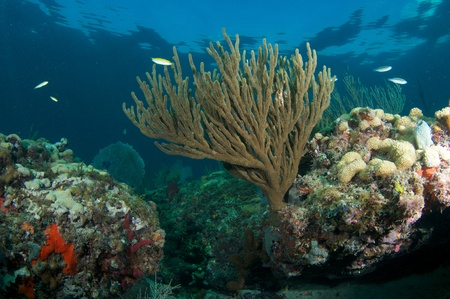 elkhorn coral: Coral Reef Composition, picture taken in south east Florida.