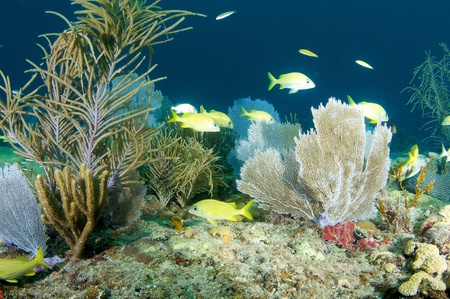 elkhorn coral: Coral Legde Composition with fish aggregation. Stock Photo