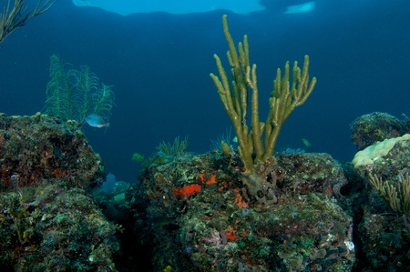 elkhorn coral: Coral Ledge Composition picture taken in south east Florida.
