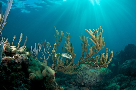 elkhorn coral: Balloonfish hovering in Sea Rod on a coral ledge in early morning light.