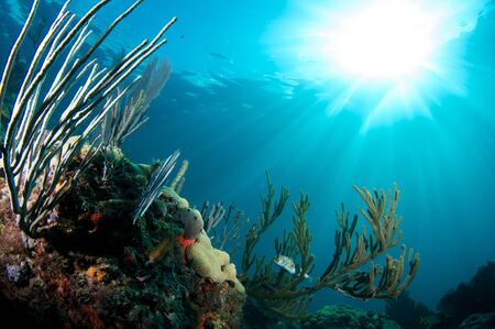 nekton: Balloonfish hovering in Sea Rod on a coral ledge in early morning light.