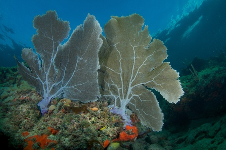 Sea Fans growing in a overlapping fashion on a coral ledge in Broward County Florida. Stock Photo