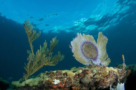 elkhorn coral: Sea Fan with disease on a reef in south east Florida. Stock Photo