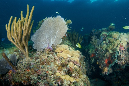 elkhorn coral: Reef Composition with large Sea Fan on a coral ledge.