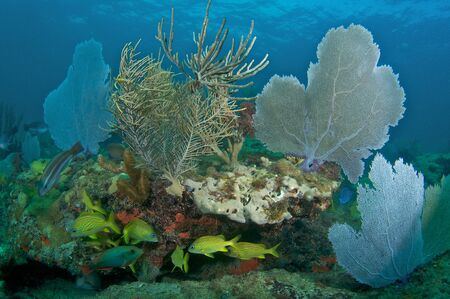 elkhorn coral: Reef Composition with Sea Fans and Sea Rods.