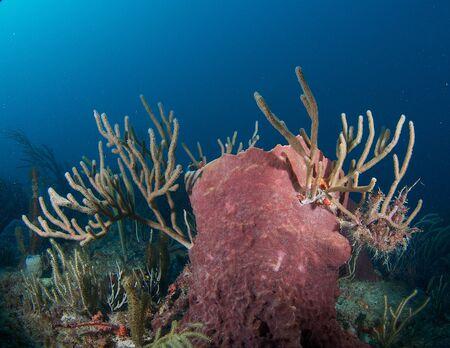 nekton: Large Barrel Sponge on a coral reef, in south east Florida.