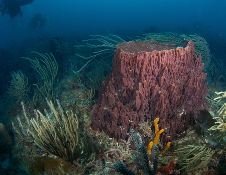 gorgonian: Large Barrel Sponge on a coral reef, in south east Florida.