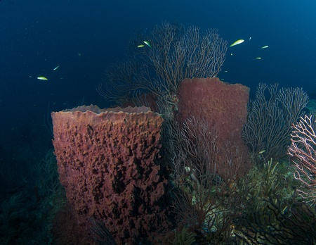 elkhorn coral: Large Barrel Sponges on a coral reef, in south east Florida