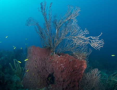 Large Barrel Sponges with sea rod protuding out of same on a coral reef, in south east Florida