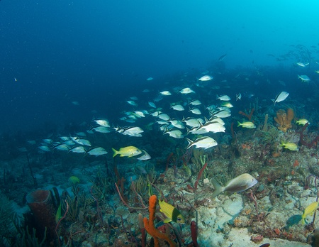 elkhorn coral: Schooling Cottonwick Grunts on a reef in Boca Raton, Florida