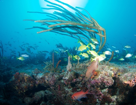 elkhorn coral: Sea Rod in early morning light with fish aggregation at base  Stock Photo