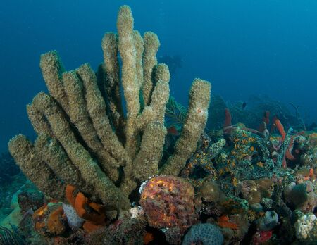 oceanography: Organ pipe sponge on a reef in south east Florida  Stock Photo