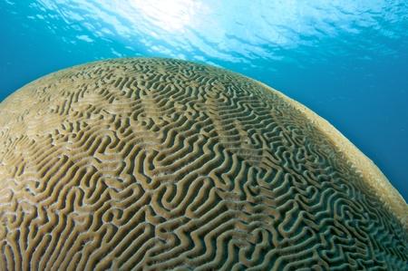 nekton: Brain Coral Dome, picture taken in south east Florida