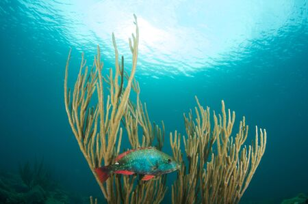 nekton: Redband Parrotfish on a reef in south east Florida