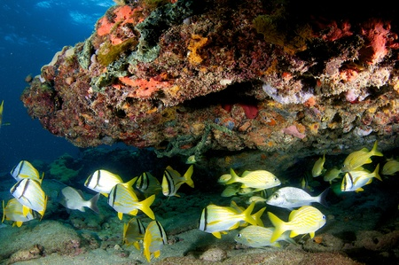 elkhorn coral: Schooling Porkfish under a reef ledge in south east Florida