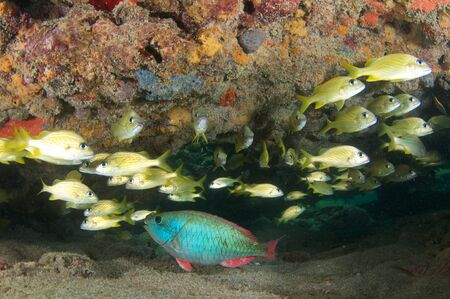 nekton: Schooling French Grunts under a reef ledge