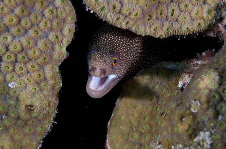 Goldential Moray sticking its head out from beneath the shelter of a coral ledge  photo