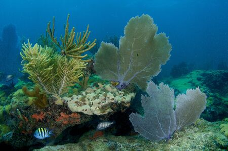 Reef Composition with Sea Fans and Sea Rods