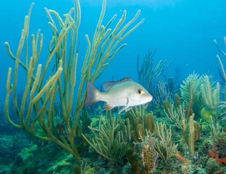 plancton: Snapper gris en una repisa de arrecife, foto tomada en el sureste de la Florida Foto de archivo