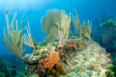 elkhorn coral: Reef Composition with Sea Fans and Sea Rods